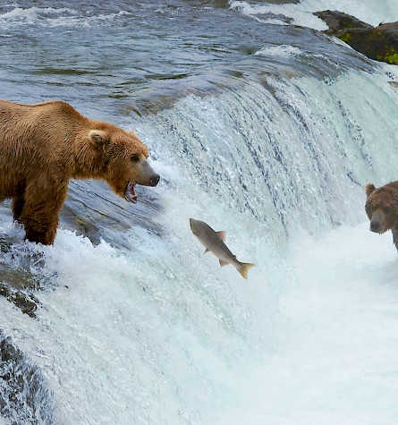 /site/assets/files/1441/alaska-bears-fishing.445x475.jpg